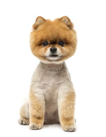 Pommerschen Hund sitzen und Blick in die Kamera
