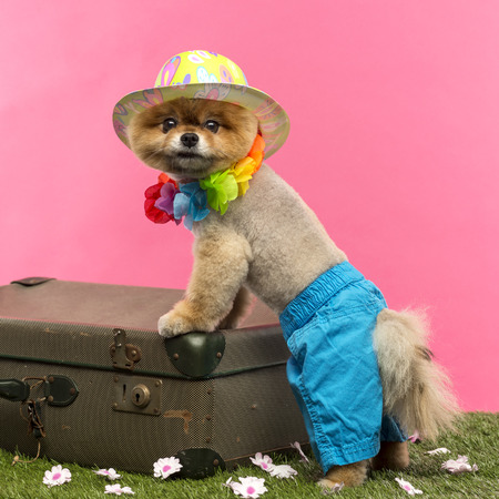Groomed Pomeranian dog wearing shorts, colored hat and Hawaiian lei and leaning on an old suitcase on grass in front of pink backgound
