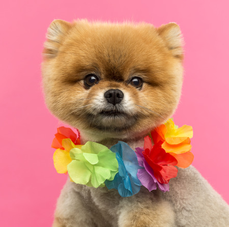 hawaiian lei: Close-up of a Pomeranian dog wearing a Hawaiian lei in front of a pink background
