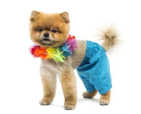 hawaiian lei: Groomed Pomeranian dog wearing shorts and a Hawaiian lei