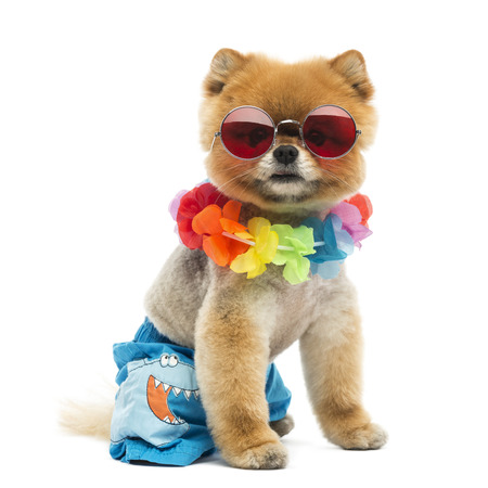 hawaiian lei: Groomed Pomeranian dogsitting and wearing shorts, a Hawaiian lei and red sunglasses