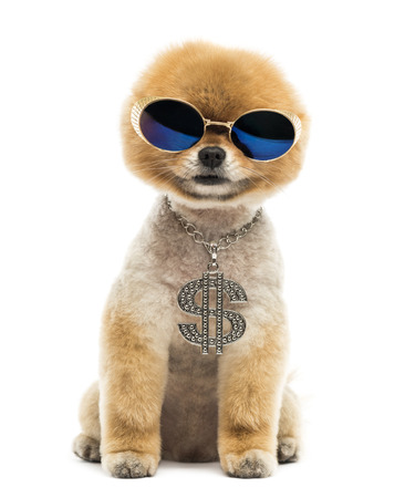 groomed: Groomed Pomeranian dog sitting and wearing a dollar necklace and blue sunglasses