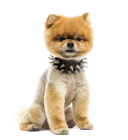 �spiked: Pomerania perro Groomed sesi�n usando un collar de pinchos