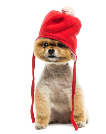 bonnet up: Grommed Pomeranian dog sitting and wearing a red bonnet