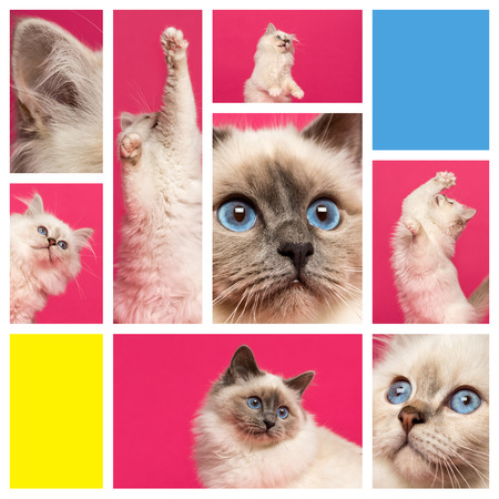 birman kitten: Composition of a Birman kitten Stock Photo