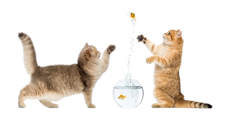Two cats playing with a goldfish photo