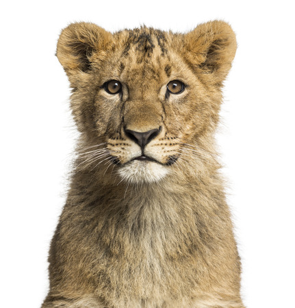 Close-up of a Lion cub looking at the camera photo