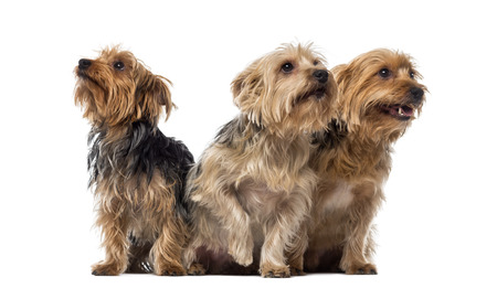 Three Yorkshire Terriers sitting and looking up Stock Photo