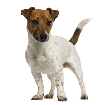 jack russell terrier: Jack Russell Terrier standing and looking away