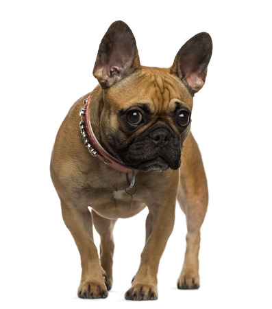 French Bulldog standing and looking at the camera photo