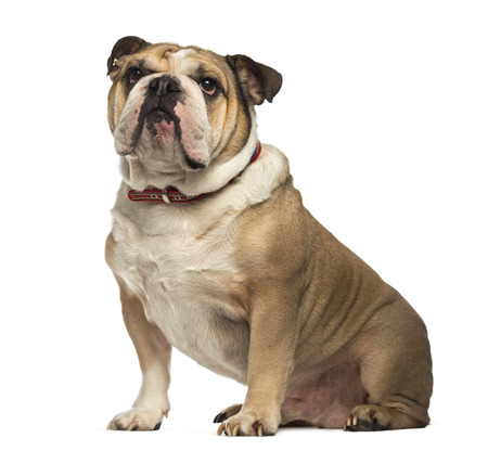 English Bulldog sitting and looking up photo