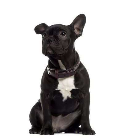 French Bulldog sitting and looking up photo