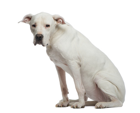depressive: Depressive Dogo Argentino (sitting and looking away Stock Photo