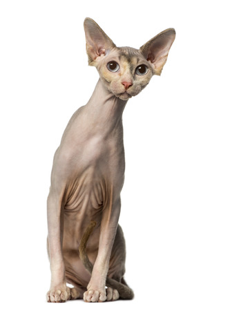 curiously: Sphynx sitting and looking away curiously