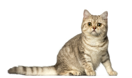 british shorthair: British Shorthair sitting and looking at the camera Stock Photo