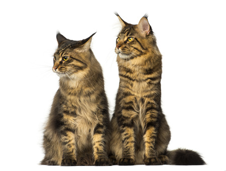 coons: Two Maine Coons sitting and looking away