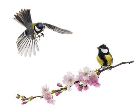 tit bird: two great tit one flying and the other perched on a flowering branch, Parus major, isolated on white