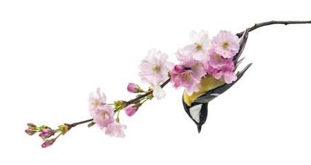 great tit perched on a flowering branch, Parus major, isolated on white photo