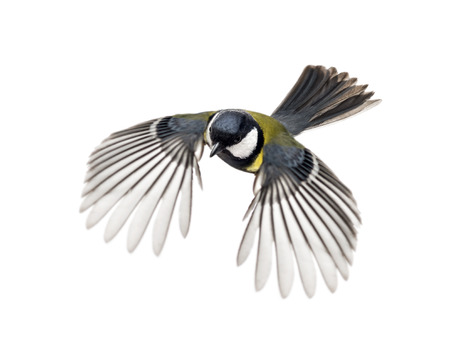 great tit: great tit flying - Parus major Stock Photo