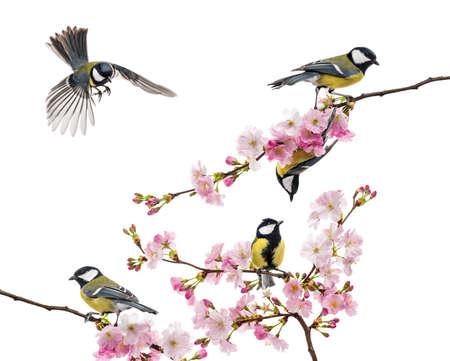pajaros volando: grupo de carbonero com�n posado en una rama florida, Parus major, aislado en blanco Foto de archivo