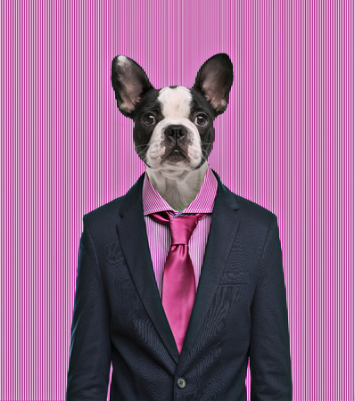 French Bulldog wearing a suit, pink background photo
