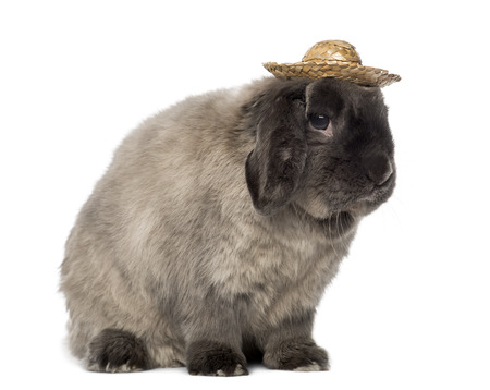 lop lop rabbit white: Lop rabbit wearing a hat, isolated on white