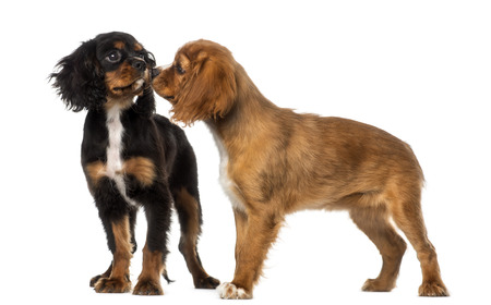 other side of: Two Cavalier King Charles Spaniel meeting, isolated on white Stock Photo
