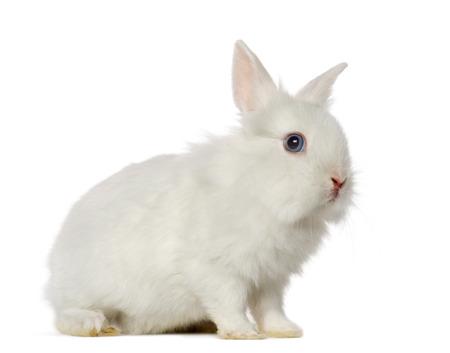 white rabbit: White Rabbit, isolated on white