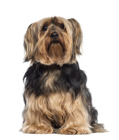 6 years: Yorkshire Terrier (6 years old)