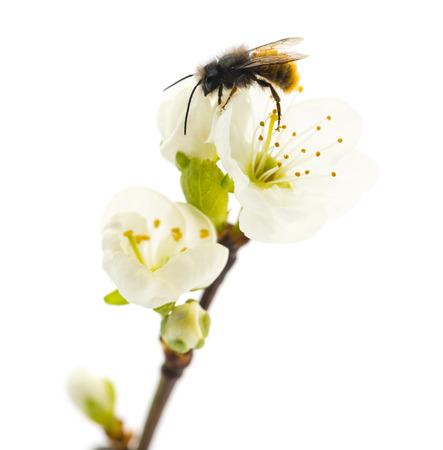 miel de abeja: Abeja polinizando una flor - Apis mellifera, aislado en blanco