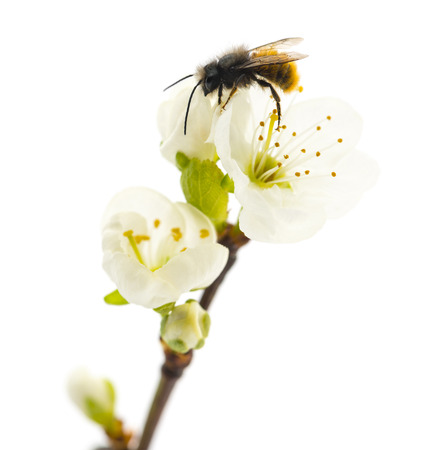 fertilization: Bee pollinating a flower - Apis mellifera, isolated on white