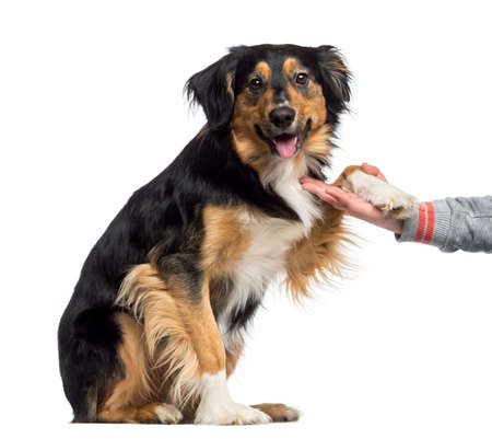 submissiveness: Border Collie giving his paw (2 years old) Stock Photo
