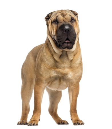 15 months old: standing Shar Pei (15 months old)