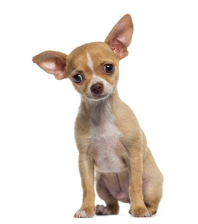 chihuahua 3 months old: Chihuahua puppy sitting (3 months old)