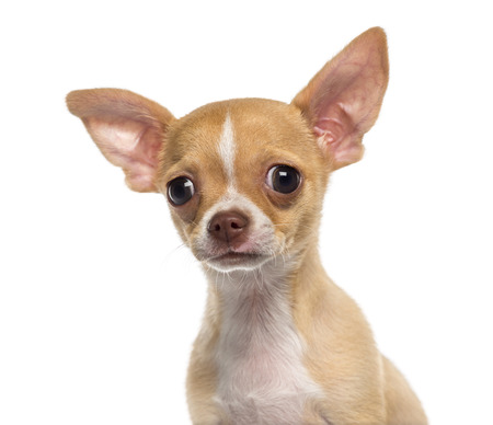 Headshot of a Chihuahua puppy (3 months old) Stock Photo