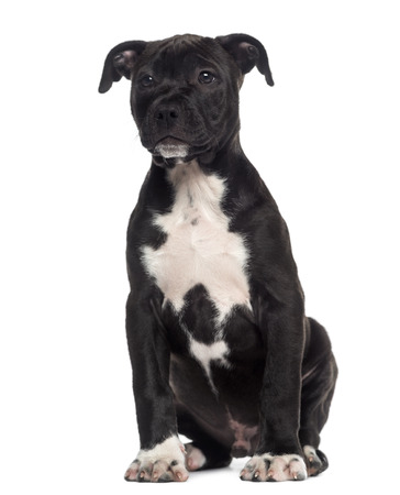 amstaff: American Staffordshire Terrier puppy sitting (3 months old) Stock Photo