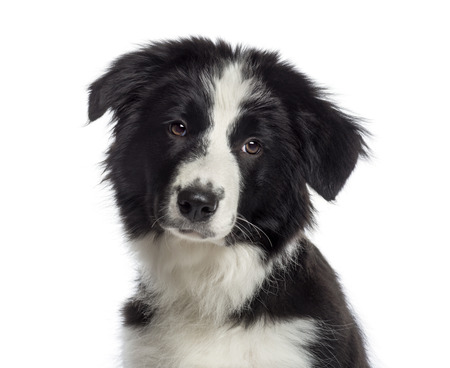 closeup puppy: Headshot of a Border Collie puppy (4 months old) Stock Photo