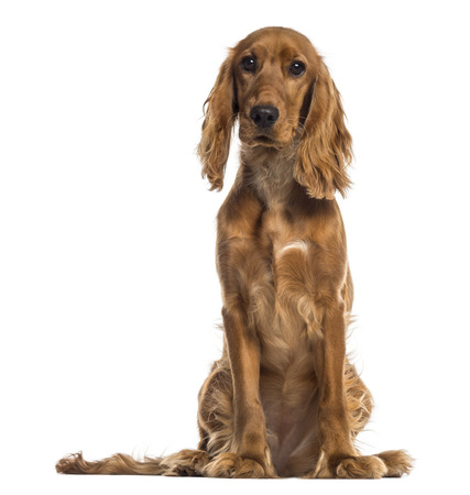 english cocker spaniel: English Cocker Spaniel sitting (7 months old) Stock Photo