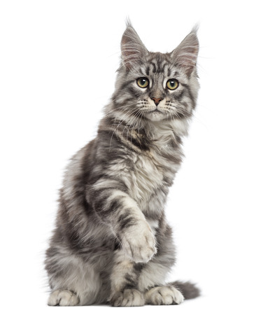 gray cat: Maine Coon (2 years old) sitting, pawing and looking away