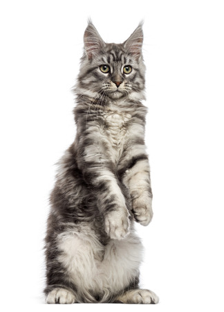 Maine Coon (2 years old) standing on its hind legs photo