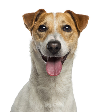 head shot: Headshot of a Jack Russell Terrier (18 months old) Stock Photo