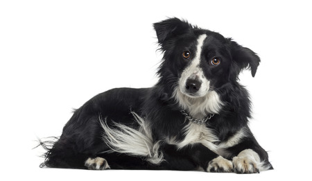 border collie: Border Collie lying down (2 years old) Stock Photo