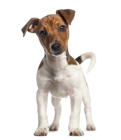 jack russell terrier:  Jack Russell Terrier puppy standing up (3 months old) Stock Photo
