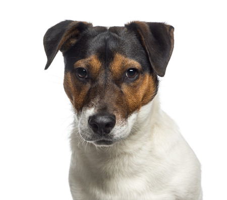 jack russell terrier: Headshot of a Jack Russell Terrier puppy (6 months old) Stock Photo