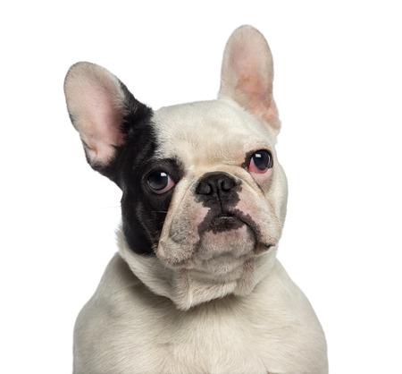 9 months old: Headshot de un Bulldog Franc�s (9 meses) Foto de archivo