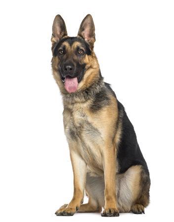 Deutsch Schäferhund Sitzen und Keuchen (1 Jahr alt) Lizenzfreie Bilder