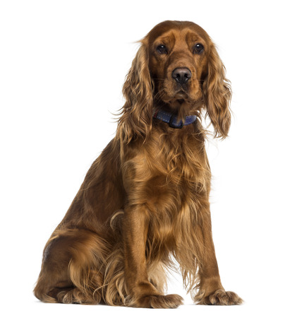 english cocker spaniel: English Cocker Spaniel sitting (2 years old) Stock Photo