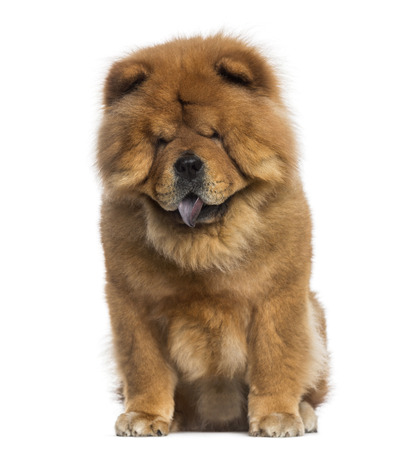 chow: Chow Chow sitting (3 years old) Stock Photo