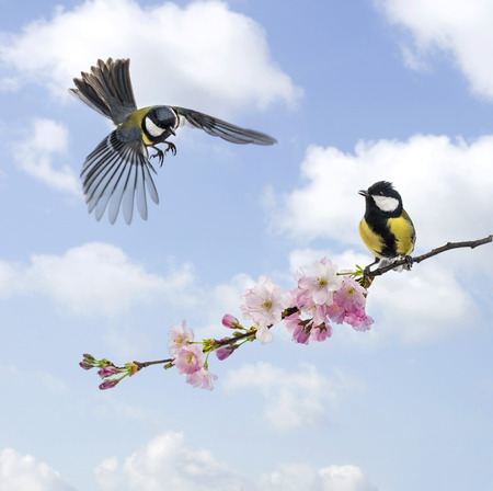 Two Great tits, clouded sky, flowering branch photo