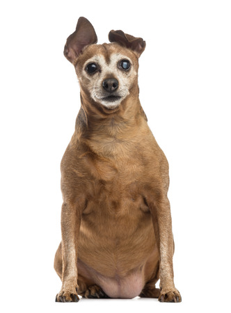 sightless: Old and fat dog (9 years old) Stock Photo